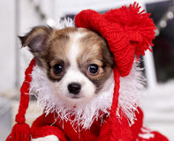 Chihuahua hua puppy  in Christmas decorations Stock Photo