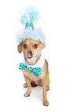 Chihuahua-Hund, der blauen Geburtstag-Hut trägt Stockfotos