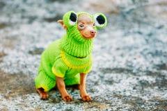 Chihuahua-Hund gekleidet oben in der Frosch-Ausstattung, bleibend in der Kälte im Freien Lizenzfreies Stockfoto