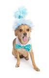Chihuahua-Hund mit der Party-Hut und Zunge heraus Stockfotografie