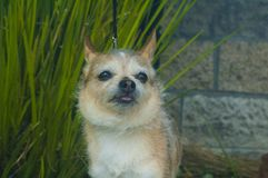 Chihuahua-Hundezunge des kleinen Drahtes behaarte heraus stockfoto
