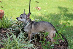 Chihuahua hunts squirrels. My chihuahua Isabel, waits patiently at the bottom of the tree for squirrels Royalty Free Stock Photo