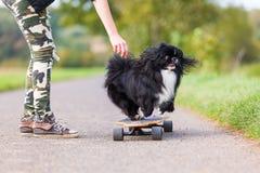 Chihuahua hybrid leaps down a skateboard Stock Photo