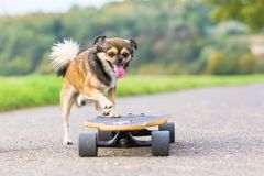 Chihuahua hybryd skacze na deskorolka obrazy royalty free