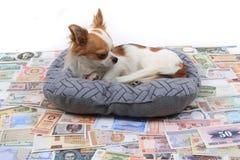 chihuahua i światu banknoty zdjęcie royalty free