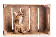 Chihuahua i asken som isoleras på vit bakgrund Royaltyfria Bilder