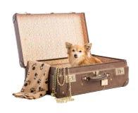 Chihuahua i en gammal resväska Arkivfoto