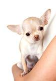 Chihuahua i en hand Royaltyfri Fotografi