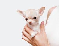 Chihuahua i en hand Arkivfoton