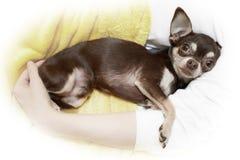 Chihuahua i omfamning royaltyfria bilder