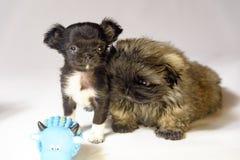 Chihuahua i Pekingese szczeniaki Ukreina 2018 obraz stock
