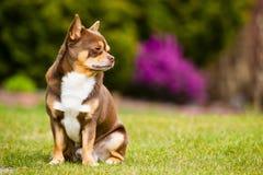 Chihuahua i trädgården Arkivbilder