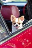Chihuahua im Auto Lizenzfreie Stockfotografie