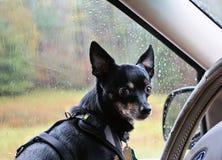 Chihuahua im Auto am regnerischen Tag stockfoto