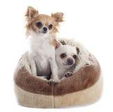 Chihuahua im Hundebett Stockfotografie