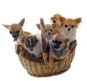 Chihuahua im Korb stockfoto