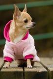 Chihuahua im Rosa Lizenzfreie Stockbilder