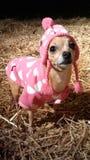 Chihuahua im Rosa Stockfotos