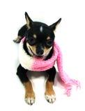 Chihuahua im Schal Stockfotografie