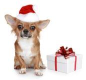 Chihuahua im Weihnachtshut und mit Geschenk Stockfotografie