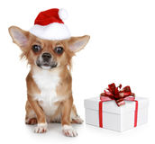 Chihuahua In Christmas Hat And With Gift Stock Photography