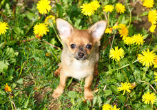 Chihuahua In Grass Royalty Free Stock Photo