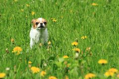 Chihuahua In The Green Grass Royalty Free Stock Photography
