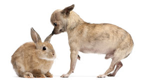 Chihuahua interacting with a rabbit Stock Photo