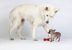 Chihuahua inviting white shepherd to play with her. Short hair Chihuahua and white German Shepherd playing together with red toy. Chihuahua has given the toy to Royalty Free Stock Photo