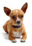 Chihuahua isolada no branco Fotografia de Stock
