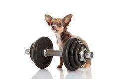 Chihuahua isolata sul cane bianco del fondo Immagini Stock