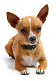 Chihuahua isolated on white Stock Photography