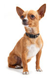 Chihuahua isolated on white royalty free stock image