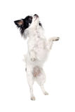 Chihuahua isolated on white background Stock Photos