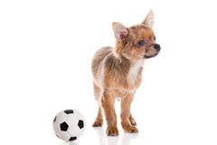 Chihuahua isolated on white background Royalty Free Stock Photos