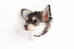Chihuahua isolated on white background breakthrough postcard creative work dog Stock Photo