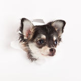 Chihuahua isolated on white background dog design concpt postcard Royalty Free Stock Photos