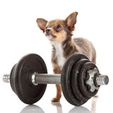 Chihuahua isolated on white background dog domestic animal gym sport Stock Photography