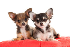 Chihuahua isolated on white background dog domestic animal Stock Photography