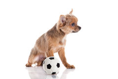 Chihuahua isolated on white background dog with the football Stock Images