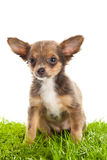 Chihuahua isolated on white background dog on grass Royalty Free Stock Photo