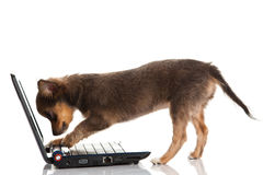 Chihuahua isolated on white background dog with laptop computer Royalty Free Stock Photography