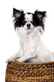 Chihuahua isolated on white background Royalty Free Stock Image