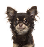 Chihuahua isolated on white Stock Photos