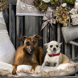 Chihuahua and Italian greyhound Stock Images