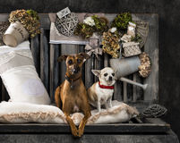 Chihuahua and Italian greyhound Royalty Free Stock Image
