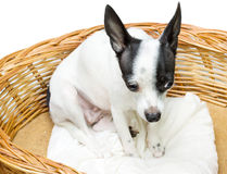 Сhihuahua at its cot Royalty Free Stock Image