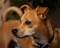 Chihuahua Jack Russell Mix Portrait Fotos de archivo libres de regalías