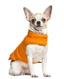 Chihuahua (2 Jahre alt) einen orange Mantel sitzend und tragend stockfotos
