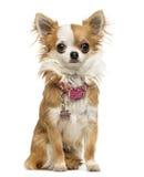 Chihuahua jest ubranym błyszczącego kołnierz, obsiadanie, 7 miesięcy starych Obrazy Royalty Free